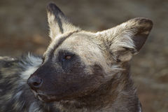 Portrait of African Wild dog. Lycaon pictus stock photo