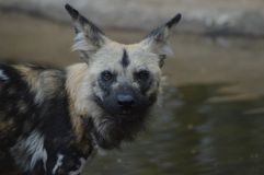 Portrait of an African wild dog in Kruger national park royalty free stock photos