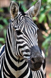 Portrait of an African zebra. Portrait image of an African zebra Royalty Free Stock Photography
