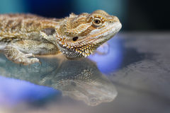 Portrait of agama Royalty Free Stock Image