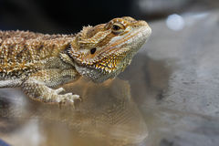 Portrait of agama Stock Image