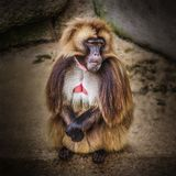 Portrait of aggressive dominant African baboon in the open resor. T, close up Royalty Free Stock Image