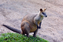 Portrait of Agile wallaby Stock Photography