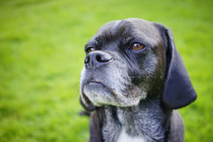 Portrait of an Aging Canine Old Dog Royalty Free Stock Photos