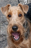 Portrait of Airedale. Dog show. Portrait of Airedale close up. Dog show Royalty Free Stock Image