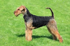 Airedale Terrier on the green grass. The portrait of Airedale Terrier in the garden stock photos