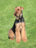 Airedale Terrier in the garden. The portrait of Airedale Terrier on the green grass royalty free stock images