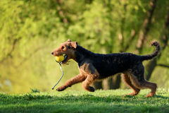 The portrait of Airedale Terrier. On the green grass Royalty Free Stock Image