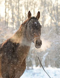 Portrait of akhal-teke horse Stock Photography