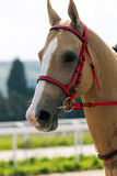 Portrait akhal-teke horse. Beautiful akhal-teke horse in the summer day royalty free stock image
