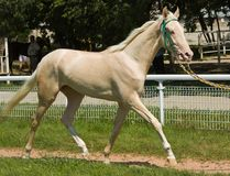 Portrait of akhal-teke horse. In hippodrome Pyatigorsk,Northern Caucasus stock photography