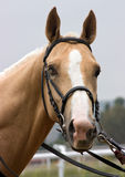 Portrait of akhal-teke horse. Portrait of akhal-teke horse in Northern Caucasus royalty free stock photography