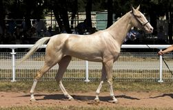 Portrait of akhal-teke horse. On racecorse royalty free stock photo