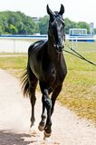 Portrait of akhal-teke horse. On racecorse royalty free stock images