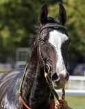 Portrait of a Akhal-Teke horse. Portrait of a Akhal-Teke horse after the race stock image