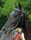 Portrait of akhal-teke horse. Portrait of akhal-teke horse after horse racing stock photos
