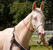 Portrait of akhal-teke horse Royalty Free Stock Photo
