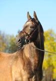 Portrait of akhal-teke stallion. In the autumn Royalty Free Stock Photography