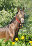 Portrait of akhal-teke stallion Royalty Free Stock Image