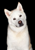 Portrait Of Akita Dog Stock Image