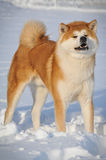 Portrait of Akita Inu. On the snow Royalty Free Stock Photography