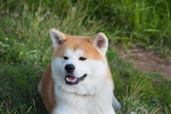 Portrait of an Akita inu dog on a green lawn background. Pets dogs cats royalty free stock photography