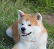 Portrait of an Akita inu dog on a green lawn background. Pets dogs cats royalty free stock image