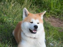 Portrait of an Akita inu dog on a green lawn background. Pets dogs cats royalty free stock images