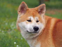 Portrait of  Akita-inu dog. Portrait of red dog of breed of Akita-inu on a natural green background Royalty Free Stock Photo