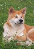Portrait of  Akita-inu dog Stock Photo