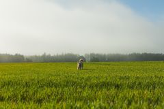 Portrait of Akita Inu in a green wheat field in summer royalty free stock photos