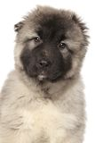 Portrait of a Alabai puppy Royalty Free Stock Photography