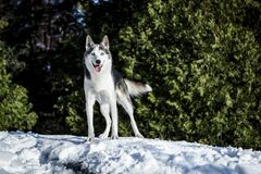 Cute husky dog hiking around the mountain royalty free stock image
