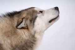 Portrait of Alaskan Malamute Stock Images