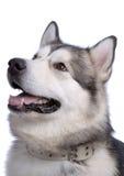 Portrait of Alaskan Malamute Royalty Free Stock Photo