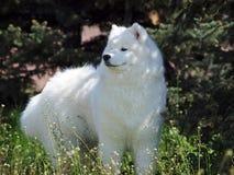 Portrait of  alaskan malamute  dog Stock Photos