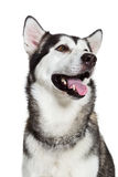 Portrait Alaskan Malamute, isolated on white. Close-up Stock Photography