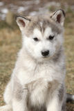 Portrait of Alaskan Malamute puppy Royalty Free Stock Images