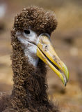 Portrait of an albatross chick. The Galapagos Islands. Birds. Ecuador. Royalty Free Stock Photo