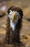 Portrait of an albatross chick. The Galapagos Islands. Birds. Ecuador. Royalty Free Stock Images