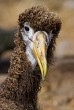 Portrait of an albatross chick. The Galapagos Islands. Birds. Ecuador. Royalty Free Stock Image