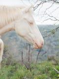 Portrait of albino half-wild horse. Israel Stock Images