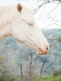 Portrait of albino horse Stock Images