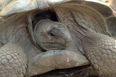 Portrait of Aldabra giant tortoise Stock Image