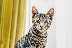 Portrait of an alert striped grey tabby cat Royalty Free Stock Photo