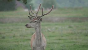 Portrait of alert young beautiful red deer stag Cervus elaphus