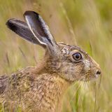 Portrait of alerted European Hare in grass. Portrait of alerted European Hare (Lepus europeaus) hiding in grass and relying on camouflage royalty free stock images