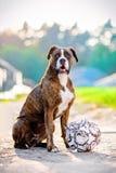 Portrait allemand de chien de boxeur avec le football Photo stock