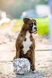 Portrait allemand de chien de boxeur avec le football Photographie stock libre de droits