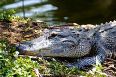 Portrait of an Alligator Royalty Free Stock Photography